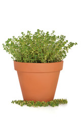 Thyme Herb Plant