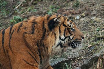 alert tiger 6749