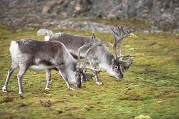 Wild reindeers in their natural habitat