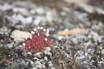 Tundra flowers (saxifraga)