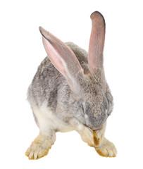 rabbit hiding his muzzle