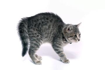 kleine Katze in Angriffposition