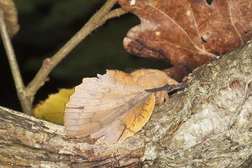 Lappet (Gastropacha quercifolia) sitting on stem