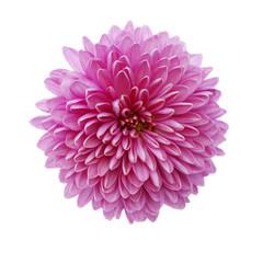 Foto op Plexiglas Dahlia a pink chrysanthemum flower isolated on white background