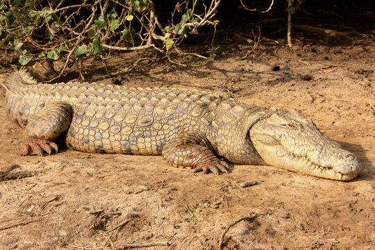 Crocodile in st. lucia wetland Park