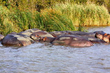 Group of Hippos (Hippopotamus) relaxing in the sun