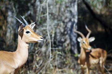 Group of impalas in Kruger national park (Aepyceros melampus)