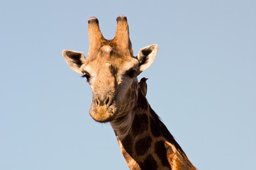 Giraffe closeup (head)