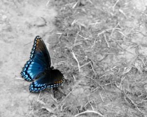 Red-Spotted Purple butterfly color on black and white