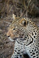 Lying leopard in Kruger park (Panthera pardus pardus)