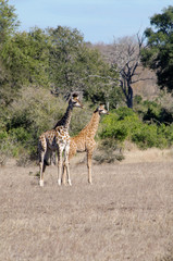 two young giraffes in Kruger national park