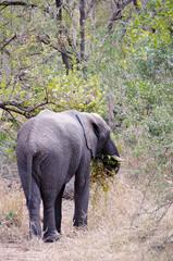 Elephant in Kruger national park (Loxodonta africana)