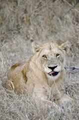Lying female lion in kruger park (Panthera leo)