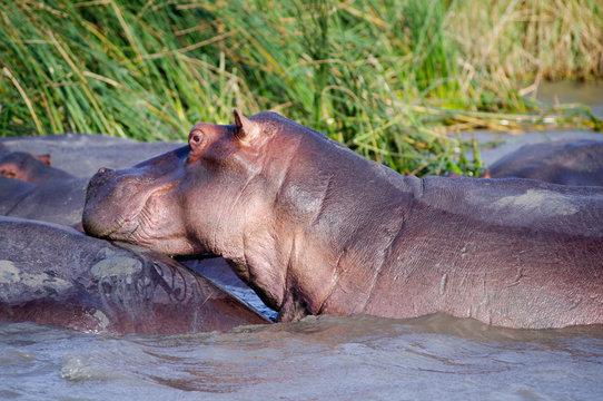 Hippo close up (Hippopotamus) relaxing in the sun