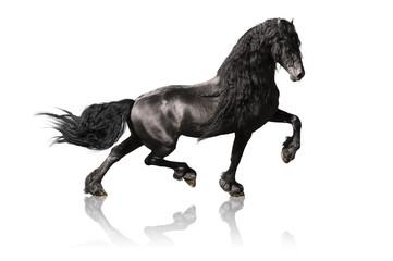 black friesian horse isoalated on white