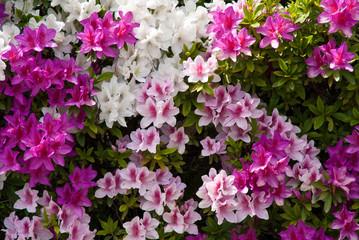 Aluminium Prints Azalea Background of Japanese pink white and purple azaleas