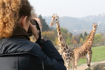 Photographying giraffes