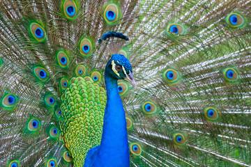 Beautiful male peacock
