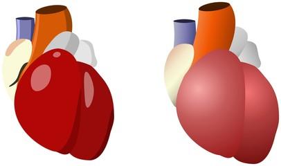 Herz medizinisch
