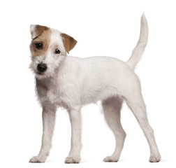 Fototapete - Parson Russell Terrier puppy, 6 months old, standing