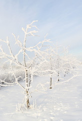 Trees under a snow.