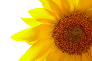Part of sunflower on white background