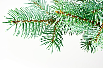 Spruce Tree.
