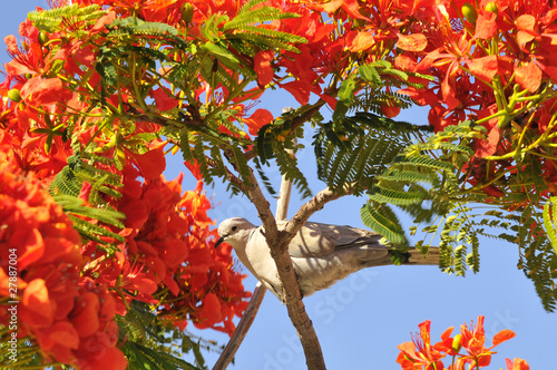 Tourterelle dans un arbre de flamboyant en fleurs rouges photo libre de droits sur la banque d - Arbres a fleurs rouges ...