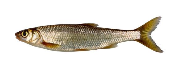 Common (eurasian) dace  (Leuciscus leuciscus)
