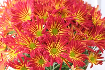 red and gold mums