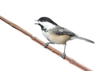 Fotoväggar - Bird Isolated On White