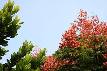 Asiatische Pflanzen mit Lampionblume