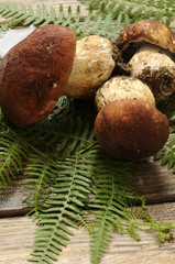 Funghi porcini - Boletus edulis