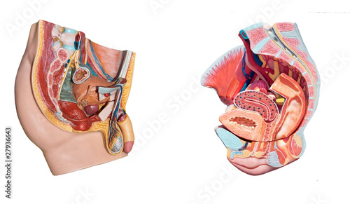 Male Female Pelvis Anatomy Reproduction System Stock Photo And