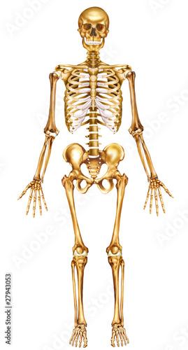 Esqueleto humano frontal\