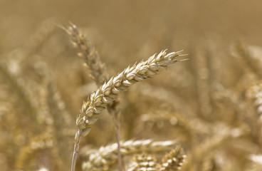 Goldene Felder - Erntezeit Hintergrund 02