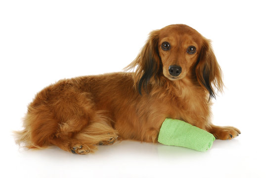 dog with wounded paw