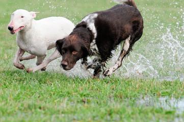 2 spielende Hunde, Bullterrier, Münsterländer