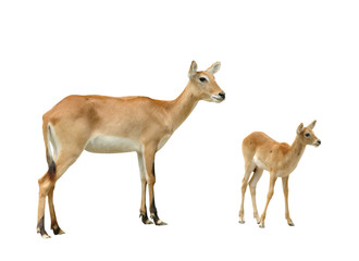 Wall Mural - female and baby red lechwe isolated