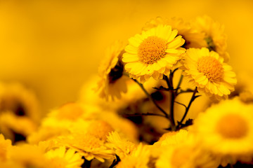 Closed up Chrysanthemum