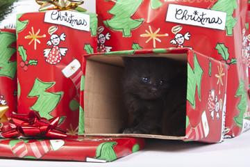 bellissimo gattino regalato