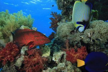Grouper and angelfish