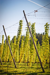 Hop Field in Autumn