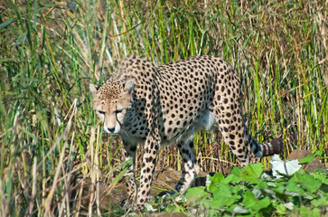 Wall Mural - Cheetah (A. Jubatus) walks in the reeds