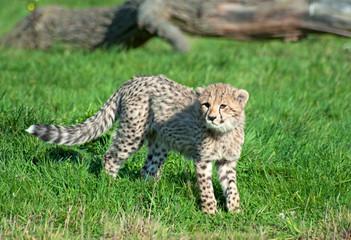 Wall Mural - Cheetah (A. Jubatus) cub looks into camera