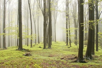 Keuken foto achterwand Bos in mist Spring beech forest with mist moving between the trees