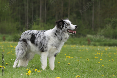 "border collie blue merle de profil"" photo libre de droits sur la"