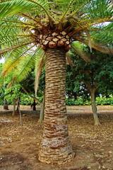 Palme Palm