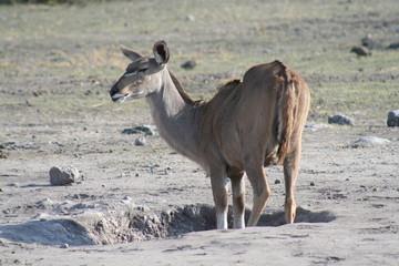Gazelle am Wasserloch