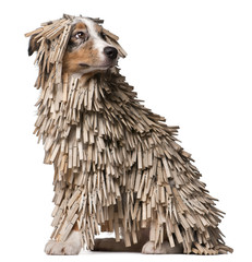 Australian Shepherd puppy covered with Clothespins, 5 months old
